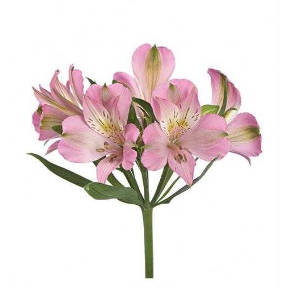 Альстромерия (розовая) - 1 шт.