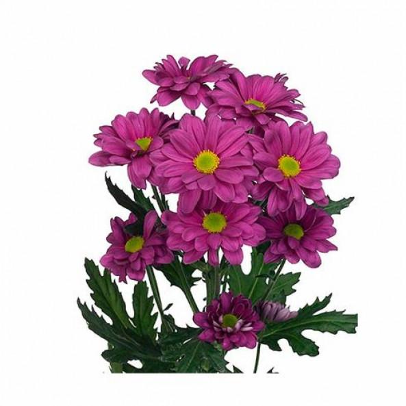 Хризантема фиолетовая (ромашка) - 1 шт.