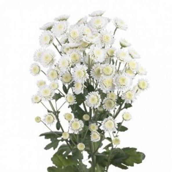 Хризантема сталион (белая) - 1 шт.