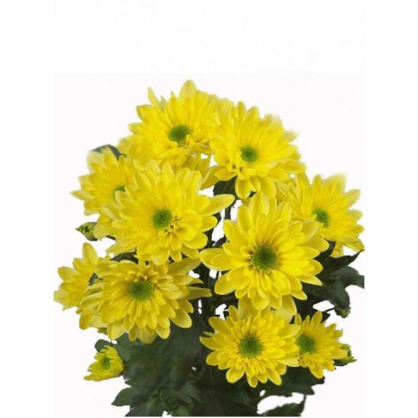 Хризантема желтая (зембла) - 1 шт.