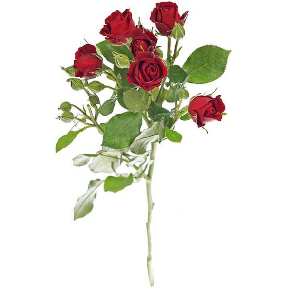 Кустовая роза (красная) - 1 шт.