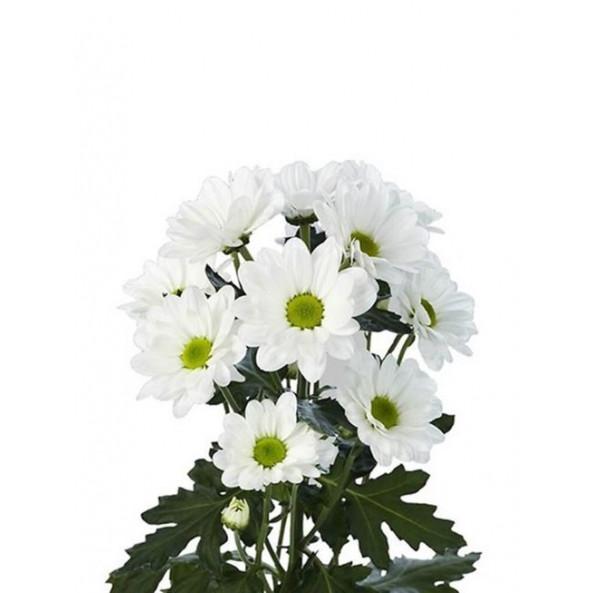 Хризантема кустовая (ромашка) - 1 шт.