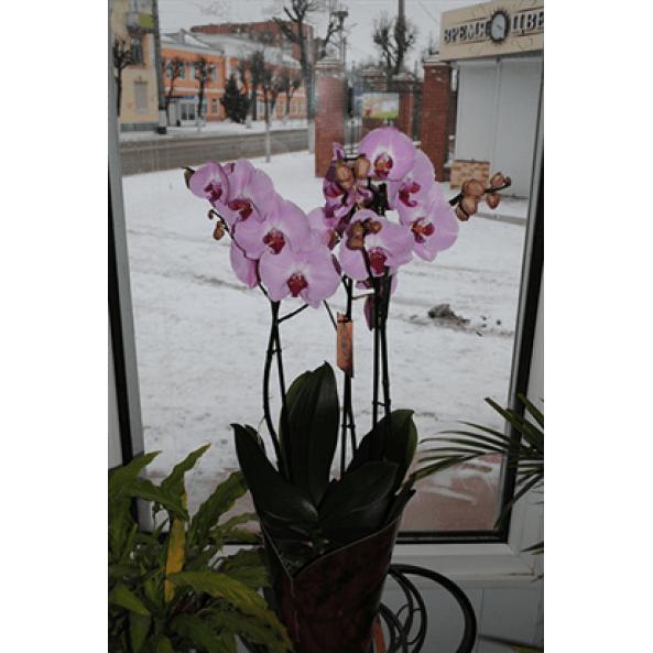 """Орхидея """"Фаленопсис"""""""